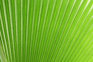 Shining green leaf palm tree texture