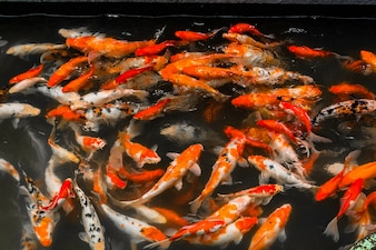 Shoal of goldfish