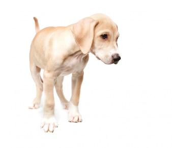 Short haired blonde walking dog