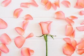 Single rose in the middle surrounded by salmon petals on a white background