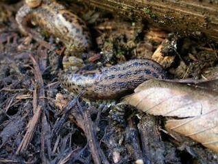 Slug, animal