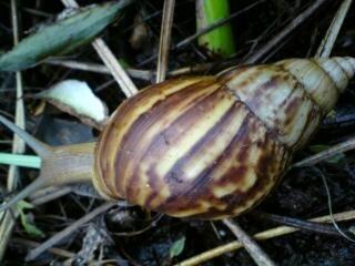 Slug, brown