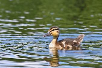池の上の小さなアヒル。アブラヤシ(Anas platyrhynchos)