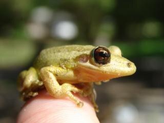 Small Frog, frog