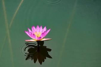 Small purple flower in water