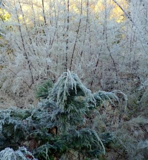 Snow covered trees, frost