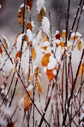 Snow in colorful leaves