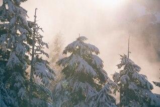 Snowy pines tops