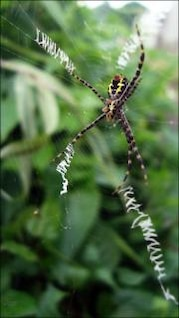 spider  legged