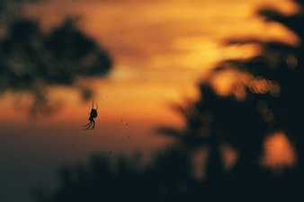 Spider at sunset