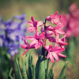 Spring and beautifully blooming flowers - hyacinth.