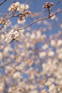 spring bloom  blue