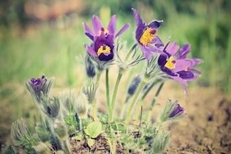 春の花。美しい花が咲くパスク花と自然の色の背景と太陽。 (Pulsatilla grandis)