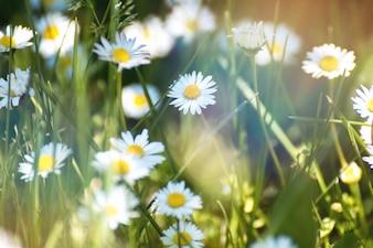 Spring flowers. Daisy flower on green meadow