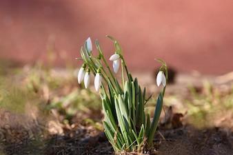 春の花 - 雪だるま美しい夕日の草の中で咲く。アマリリア科 - ガランツス・ニバリ