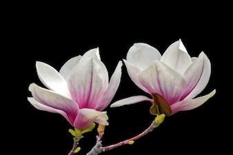 Spring magnolia wood flower blooms floral
