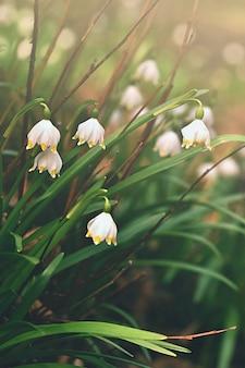 春の雪の花。 (leucojum vernum carpaticum)自然の色の背景と森林の美しい咲く花。