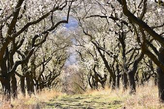 春の木。美しい開花アーモンド。