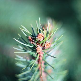 Spruce branch in spring.