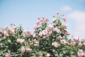 Summer blooming pink roses