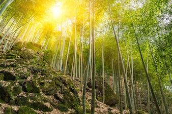 Sun shining bamboo forest