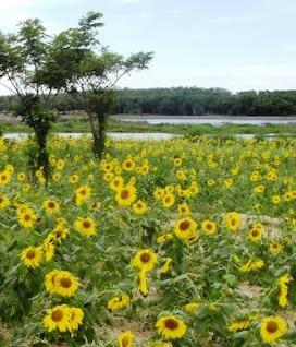 sunflower field  water