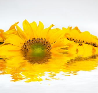 Sunflower put into water