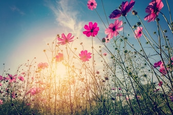 Sunlight and cosmos flower on field with vintage toned.