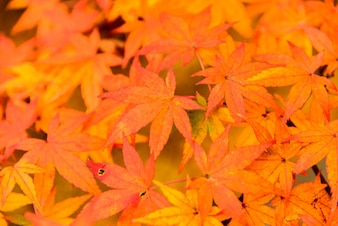 Sunset color leaves colorful maple