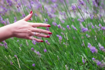 Sunset over a summer lavender field . Grls hand touching the flo
