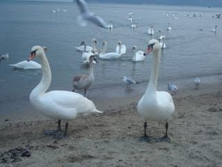 swans at the black sea cost  seagull