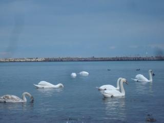 swans at the black sea cost  shore