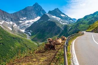 Швейцарские альпийские молочные коровы