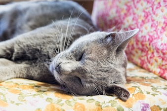 Thai cat gray color sleeping on pillow