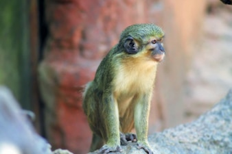 The green monkey