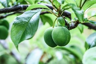 The immature plum