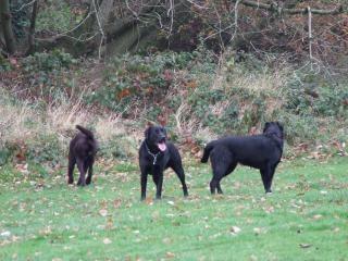 The Labradors, labrador