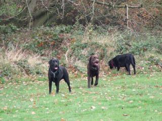 The Labradors