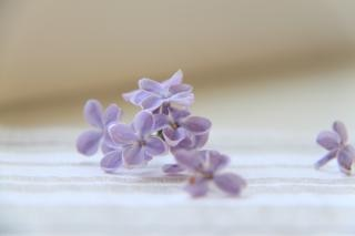the lilac