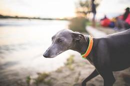 The little greyhound