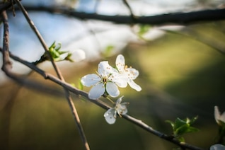 The little white flowers of the tree