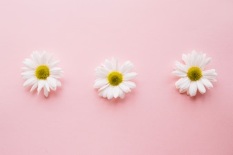 Three daises on a row over a light pink background