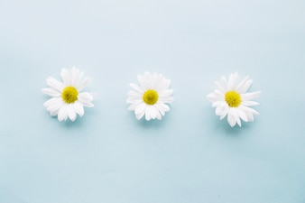 Three delicate daises on a row over a light blue background