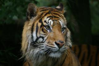 Tiger, carnivore, rare