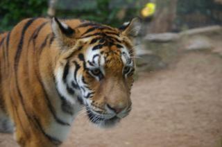 Tiger, carnivore