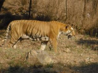 tiger  cat  wild
