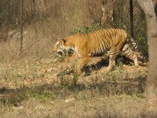 tiger  lioness