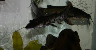 tiger shovelnose catfish with a bullhead