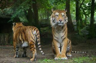 Tigers, big