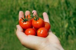 tomato cherry small matina handheld hand
